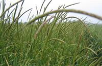 Target black-grass in OSR to safeguard subsequent wheats