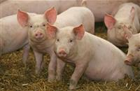 Finest British pigs set to go to India to develop its burgeoning pig sector