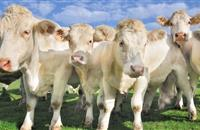 Rare cattle disease prompts warnings in West Country