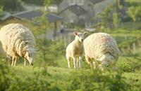 One mid-season Knockout Drench can increase lamb growth rates