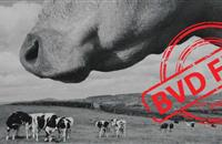 Vets join 70-strong coalition to eradicate Bovine Viral Diarrhoea from England