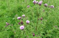 Control thistles this summer to save time next spring