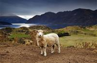 Scottish government to pay out £5.6m over next few days to support upland sheep farming