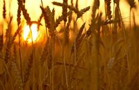 UK wheat exports reach highest level since 2008/2009 thanks to weaker sterling