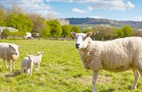 Beef and sheep industry 'crucial for sustaining a robust agri-food sector'