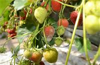 Certis fungicide product granted useage for strawberry crops