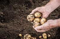 Potato farmers reminded of new dose rate limit for stored potato crops
