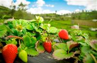 National living wage poses great concern for Scotland's fruit farms
