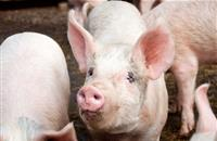 Farmers urged to join disease charter following recent Swine Dysentery cases