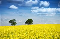 Mixed picture on Scottish cereal yields but winds hammer OSR
