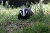 Badger cull 'makes mockery' of UK animal welfare credentials