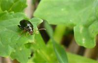 Growers set to be in a stronger position thanks to new research into cabbage stem flea beetle