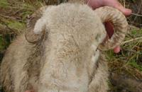 Farmer found guilty after sheep blinded by horn