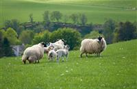 Marks and Spencer's to source lamb from British farms for a further six weeks in 2017