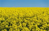 Struggling oilseed rape 'needs tailored agronomy'