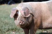 Carmarthen Ham granted EU protected name status
