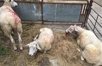 RSPCA appeals for information after six sheep attacked by dogs