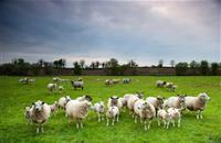 British sheep farmers at 'huge disadvantage' if EU implements new CAP support rules