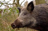 Rising wild boar population posing 'very genuine threat' to British pig industry