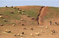 Plan launched to eradicate destructive sheep plague causing 'major losses' to world's poorest