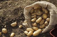 2016 GB total potato production down 5 per cent
