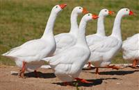 Gang steal geese worth £100,000 in Norfolk during night