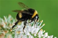 Pesticides making bumblebees lose their buzz, says new report