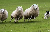 Wiltshire farmer prepared to shoot the next dog which attacks his flock