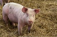 Pigs sharing premises where bird flu has been found in poultry could be culled, Defra warns