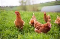 Avian flu 'postcode lottery' putting free range egg businesses at risk, warns sector