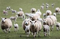 'I won't hesitate in shooting dogs' says farmer after sheep worrying attack