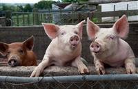 Scientists produce pigs that may be protected from killer virus which costs industry billions