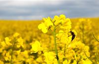1 in 3 Scottish farmers blame neonicotinoid ban for rapeseed crop damage