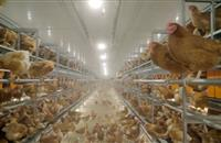Retailers ditching caged egg increases interest in barn systems