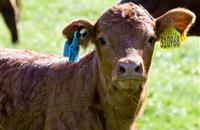 Scottish farmers face thousands of pounds in fines over cattle tagging failures
