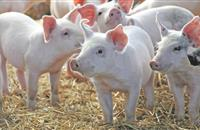 UK pig industry slams EU committee's decision to stand by zinc oxide ban recommendation