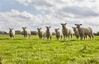 Schmallenberg Virus confirmed in two Scottish flocks near English border
