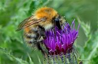 Flower-rich habitats on farmland increase survival of bumblebee families, new study says