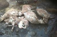 Six pregnant ewes dead due to dog attack in a Hartpury College owned farm