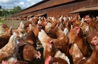 NFU lobbies EU Commission for future solution to marketing of free range eggs if bird flu strikes again