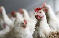 Immune study in chickens reveals key hurdle for Campylobacter vaccine effort