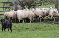 Eleven animals dead due to loose dog on Lancashire farm