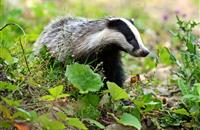 Badger cull to be extended to Wales after figures show rise in TB cases