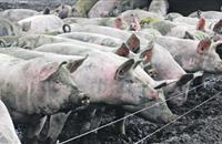 'Very low' risk of LA-MRSA in UK pigs, industry states after BBC feature