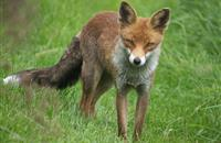 Welsh farmer's anguish as fox kills one lamb a day for three weeks