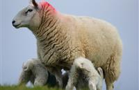 Processors 'must bring more structure and profitability to lamb supply chain', UFU warns
