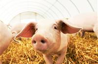 Pig farmers urge next Government to notice UK's 'world-leading standards'