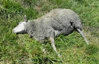 Oxfordshire farmer fined £1,200 after sheep left to rot on land
