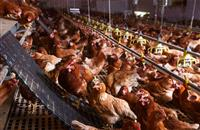 Government confirms eligibility of poultry litter for highest renewable tariff