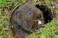 Rewilding: Biggest release of water voles announced around Northumberland